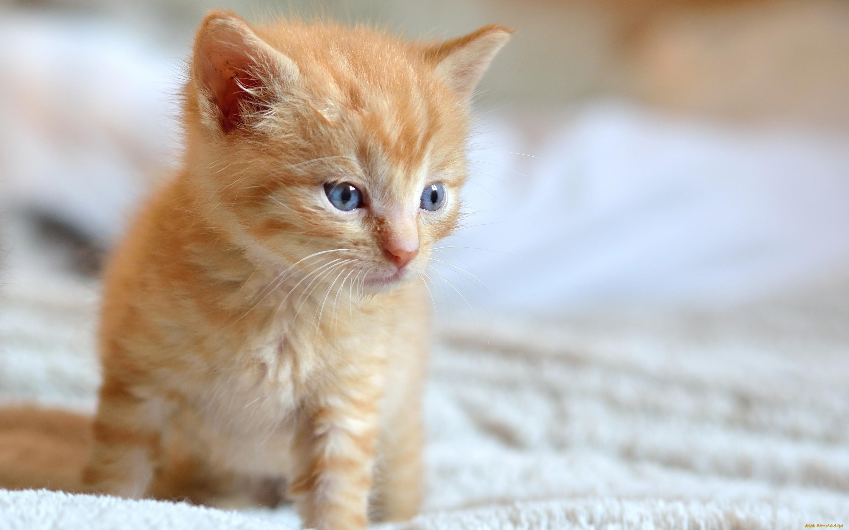 картинки рыжего котенка одном исторических